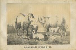 Овцеводство и шерстоведение